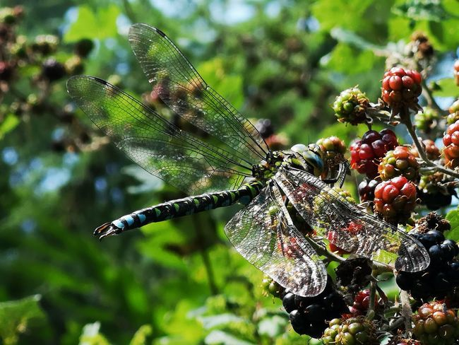a hungry dragonfly. Berries Berries On A Branch Transparent Wings Close-up Animal Themes Plant Green Color Dragonfly Winged Animal Wing