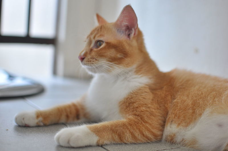 Animal Animal Head  Animal Themes Cat Domestic Domestic Animals Domestic Cat Feline Ginger Cat Indoors  Looking Looking Away Mammal No People One Animal Pets Profile View Relaxation Side View Sitting Vertebrate Whisker EyeEmNewHere