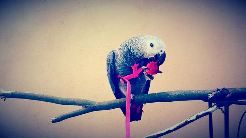 Animal Themes Bird Parrot Budgerigar Animal Wildlife One Animal Perching Animals In The Wild No People Indoors  Day Jako Jako Parrot Parrot❤ Parrot Bird