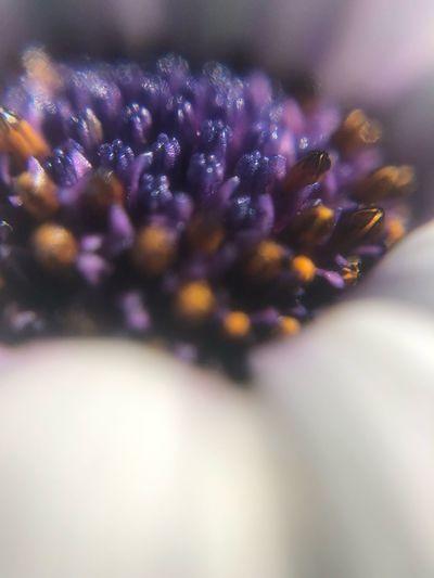 Macro Close-up Purple Beauty In Nature Flower Flowering Plant Petal No People