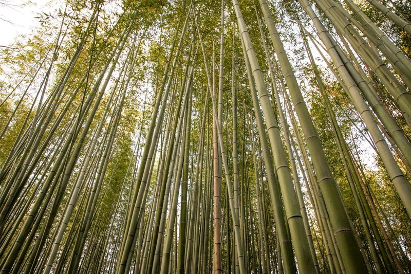 Bamboo forest Tall - High Nature Forest Tree Green Color Backgrounds Outdoors Low Angle View