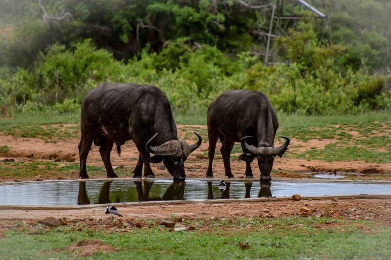 Animal Themes Mammal Plant Water Animal Wildlife Vertebrate Nature Buffalo First Eyeem Photo