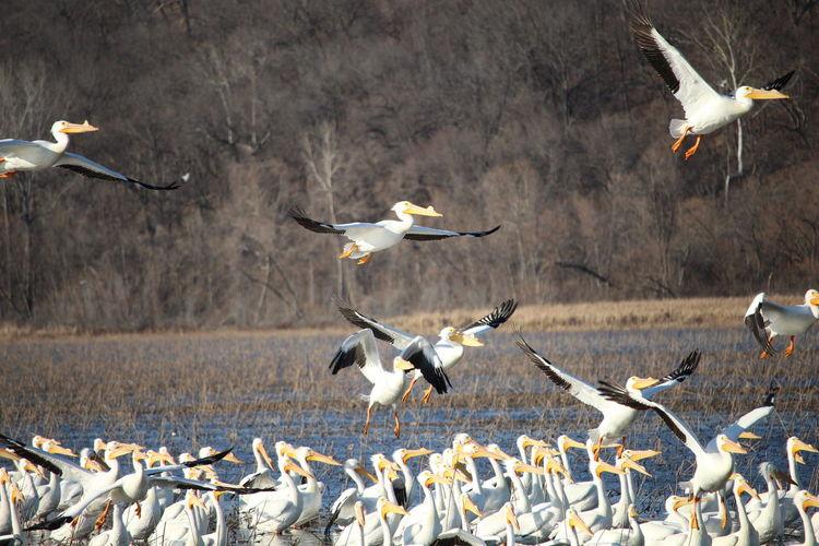 Pelicans taking