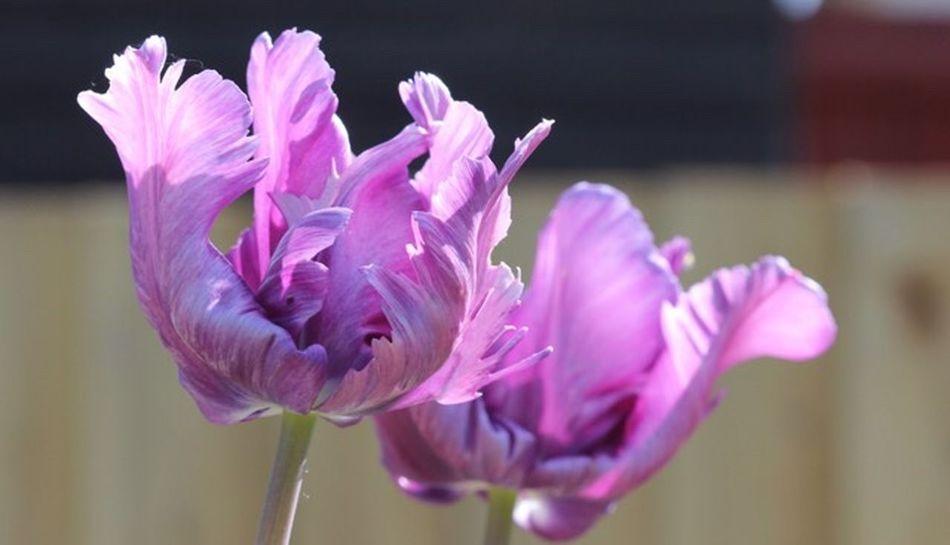 Tulips Flower Flowering Plant Beauty In Nature Petal Freshness Plant Vulnerability