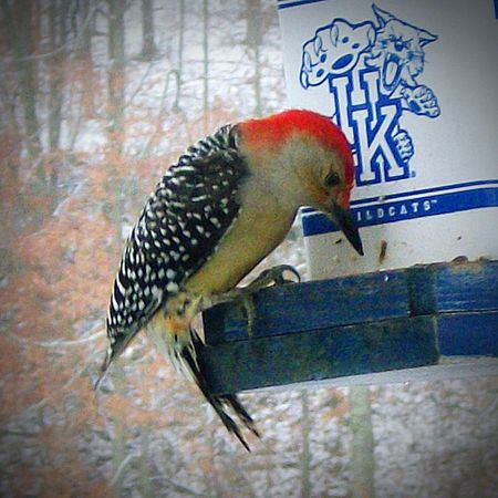 My friend... Woody the Red-headed Woodpecker Relaxing Taking Photos Nature Is Beautiful My Photography. Nature Photography Nature Lover Woodpecker Woodpecker Home Wildlife & Nature Wildlife Photography Bird Photography My Backyard Oasis