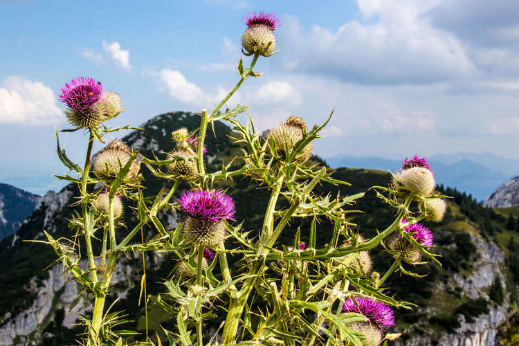 Thistle in front of mountain, Wendelstein, Bavaria Green Color Beauty In Nature Blooming Blossom Blossoming  Blossoms  Close-up Cloud - Sky Day Flower Flower Head Fragility Freshness Growth Nature No People Outdoors Petal Pink Color Plant Purple Sky Summer Thistle Thistle Flower