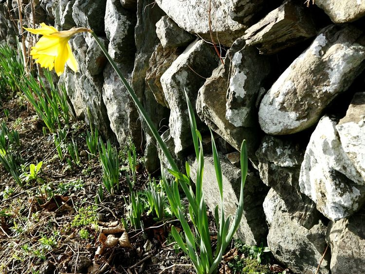 The first daffodil flower - springtime! Daffodil Daffodil Bloom Daffodils In The Sun Springtime Spring Has Arrived Gardenflowers Growth No People Nature Plant Day Outdoors Beauty In Nature Close-up Mizen Peninsula West Cork Wildatlanticway Ireland