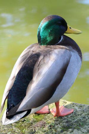 Mallard duck Mallard Duck Sunny Day Moss Nature_collection No Filter Nature Purist No Edit No Filter Rock Beak Bird Portrait Feather