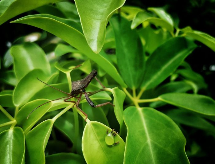 """""""would you stop bugging us, we are having a drink here"""" 😂😂😂 Leaf Insect Full Length Animal Themes Close-up Green Color Arachnid Chachoengsao Invertebrate Jumping Spider Arthropod Animal Leg Animal Antenna Prey"""