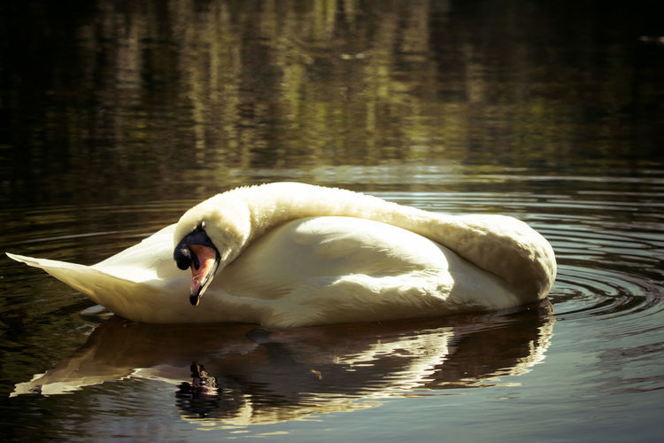 Side view of a swan with reflection in water