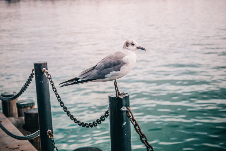 Seagull perching on railing by sea