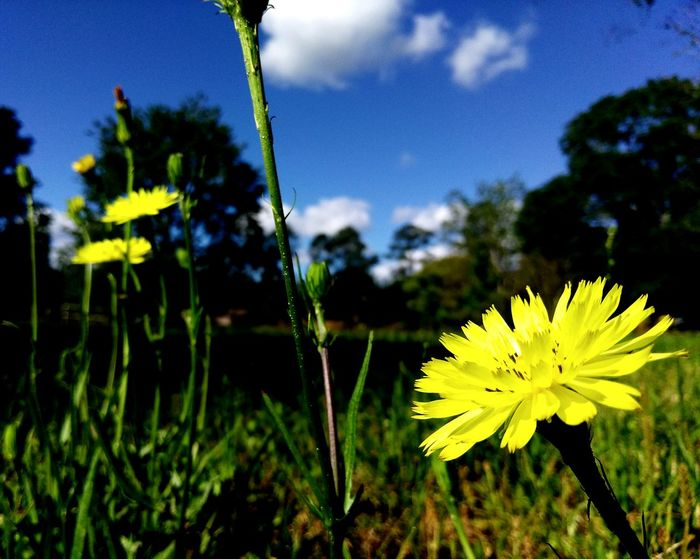 Hello Sun Morning Stretch Open For Business Just Dandy Cluster Of Flowers Yellow Flowers Dandelions Wildflowers Reaching For The Sun Stretch Blooming In Bloom Art Is Everywhere Break The Mold The Great Outdoors - 2017 EyeEm Awards Florida Lost In The Landscape
