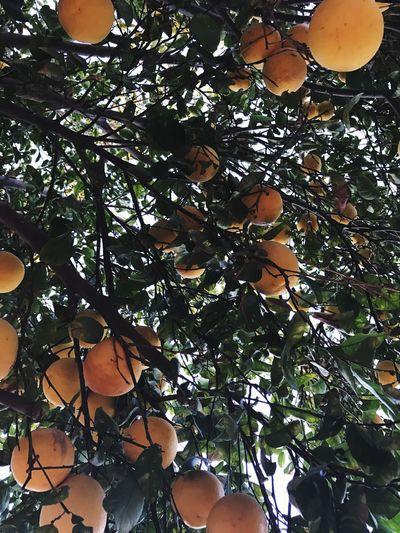 Lemons 🍋 Grapefruit 🍇 Lemon And Grapefruit Tree