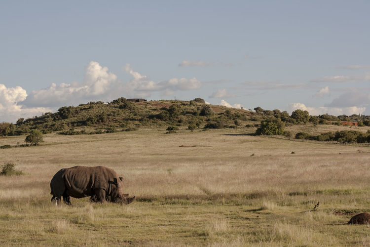 Rhinoceros On Grass
