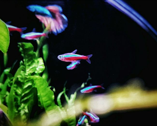 Nature Aquarium Photography Aquarium Nanotank Phonegraphy Underwater Samsung Galaxy S7 Edge Cardinal Tetras Shoal In Nano Fish