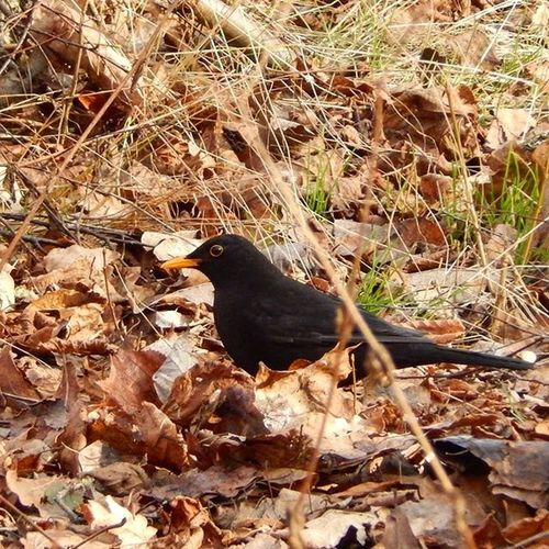 Melnais meža strazds. Common blackbird. Strazds Blackbird Latvijasdaba Latvija Repostlatvia Balticnature Baltictrend Naturephotography Natur_photograph Fotofanatics_nature_ Fotocatchers Total_shot Best_free_shot Ig_myshot Birdphotography Ig_birds Your_best_birds Ig_discover_birdslife Birdsofinstagram Loves_life Bomdever_nature Amateurs_shot Nature_wizards Showcase March Things I Like