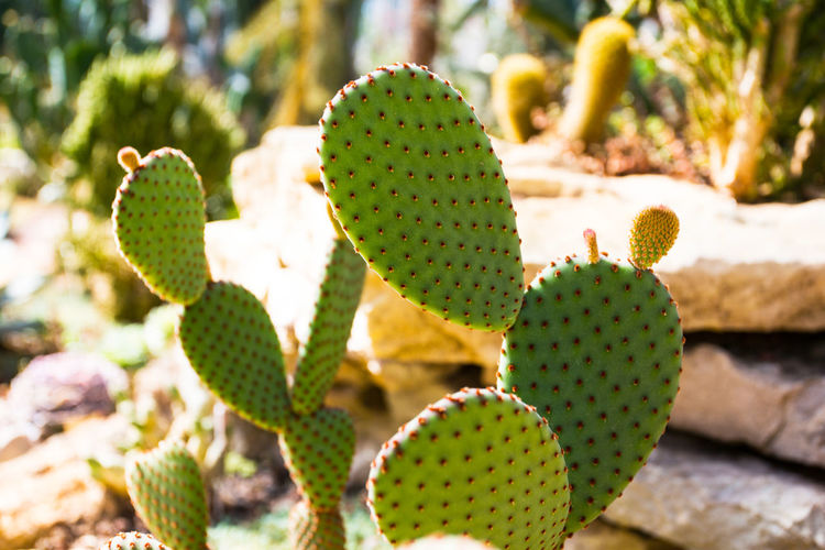 Cacti Cactus Cactuses Desert Green Plant Sunny Background Botanical Botany Colorful Flora Garden Macro No People Summer Wallpaper