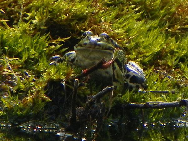 Frosch Garden Photography Nature Frösche Teich Nature Photography Teichfrosch Frog