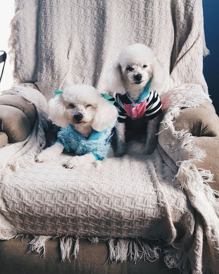 Cute Poodles Sitting On Couch