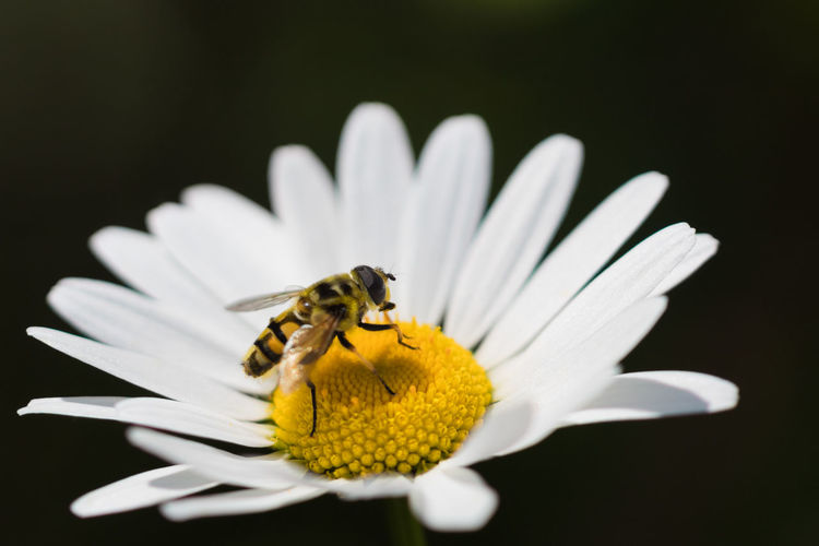Animals In The Wild Beauty In Nature Close-up Flower Flower Fly Flower Head Hoverfly Insect Margerite Nature No People One Animal Petal Plant Pollination Schwebefliege Syrphid Fly