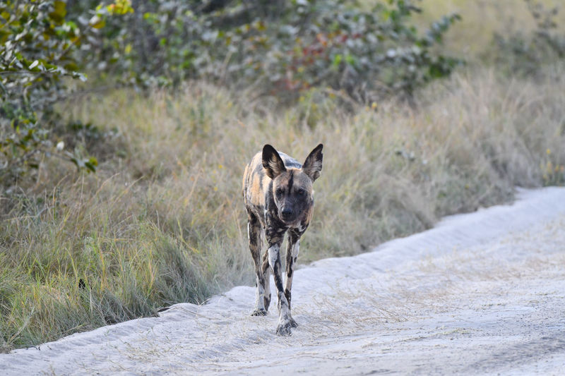Wild Dog Wild Dogs African Wild Dog Mammal One Animal Pets Domestic Domestic Animals Dog Canine Vertebrate Day Portrait Nature Looking At Camera No People Plant Road Land Outdoors