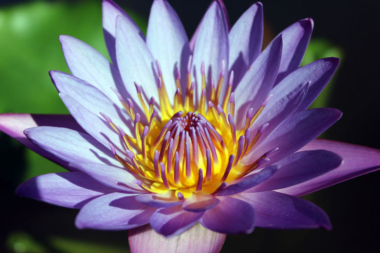 Purple fire EyeEmNewHere Hawaii Beauty In Nature Blooming Close-up Day Flower Flower Head Fragility Freshness Growth Nature No People Outdoors Petal Plant Pollen Purple Flowers Stamen Water Lily