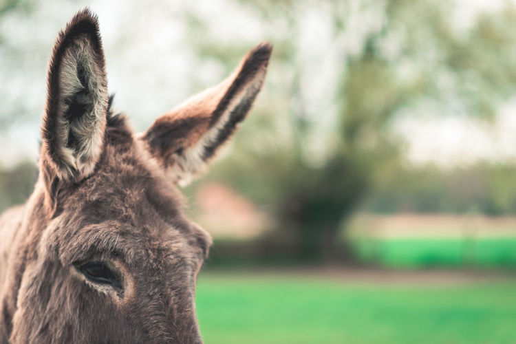 Animal Animal Ear Animal Eye Animal Head  Animal Themes Day Domestic Animals Donkey Field Focus On Foreground Land Mammal No People One Animal Outdoors