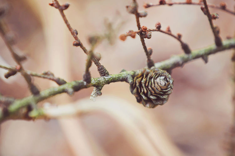 Autumn Beautiful Beautiful Nature Pine Cones Beauty In Nature Close-up Day Forest Forest Photography Forestwalk Lovely Nature No People Outdoors Pine Cone Selective Focus