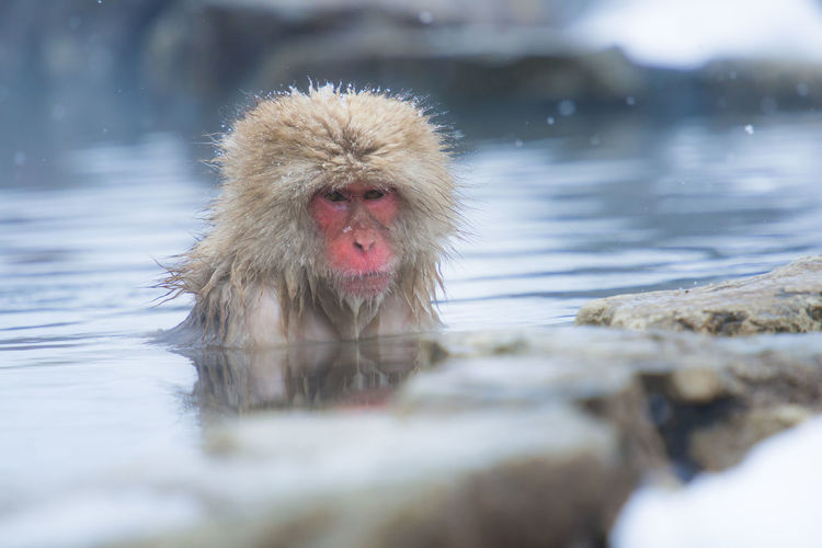 Snow monkey in a hot spring, Nagano, Japan. Animal Themes Animals In The Wild Cold Temperature Day Hot Spring Japanese Macaque Lake Mammal Monkey Nature No People One Animal Outdoors Swimming Water Waterfront Winter