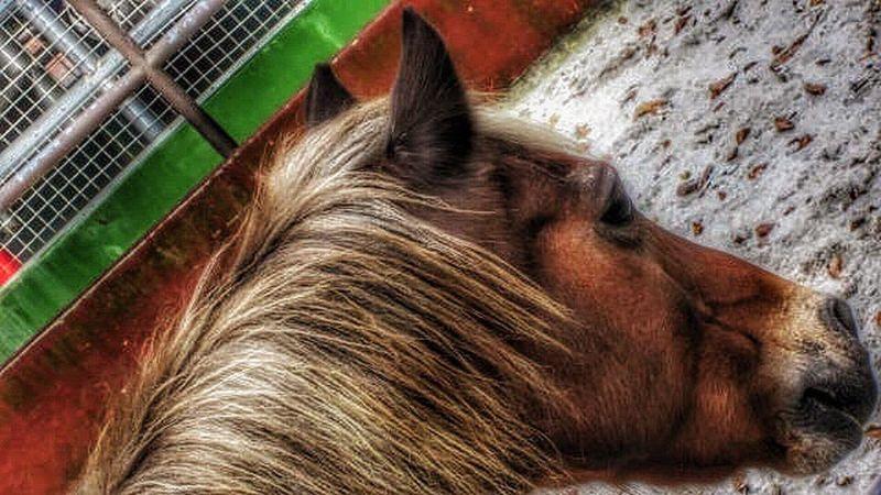 Horses Horse Canon_official Canonphotography Horse Life Horse Riding Horse Photography  Horseriding Zoo ASIA Eyes Brown Pony Mane Pony❤️ Pony Ride Hoofed Mammal Hoof Hoof, Legs, Four-legged, Horse Shoe, Sunny Sunny Day Horseback Riding Horseshow Horse <3 Outdoors