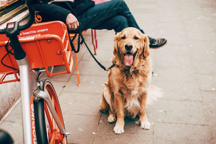 Golden Retriever Dog Dogs Of EyeEm EyeEm Selects Dog Canine Pets Mammal Domestic Animals Domestic One Animal Pet Leash Leash People Day Real People Outdoors Street Sitting
