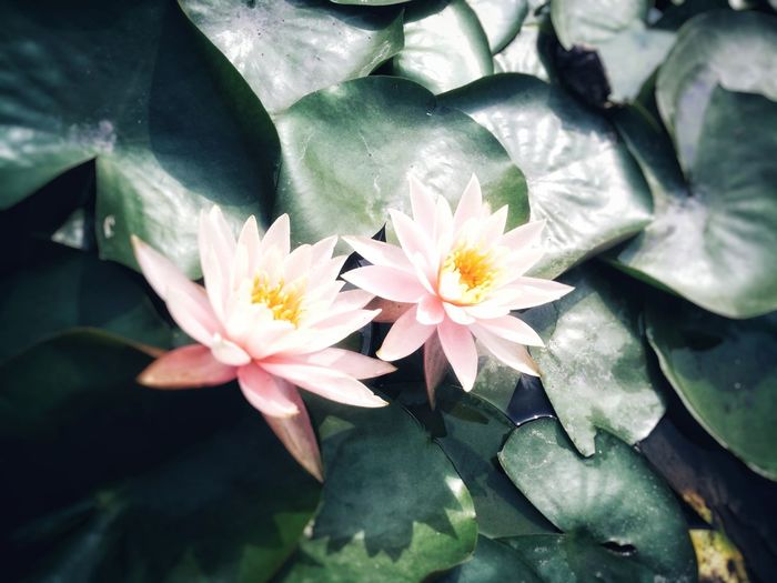 Lotus♥ Few Years Ago Water Beauty In Nature Plant Flower Nature No People Smartphone Photography Colorful Walking Around And Taking Pictures Find Beauty Anywhere You Can EyeEmNewHere