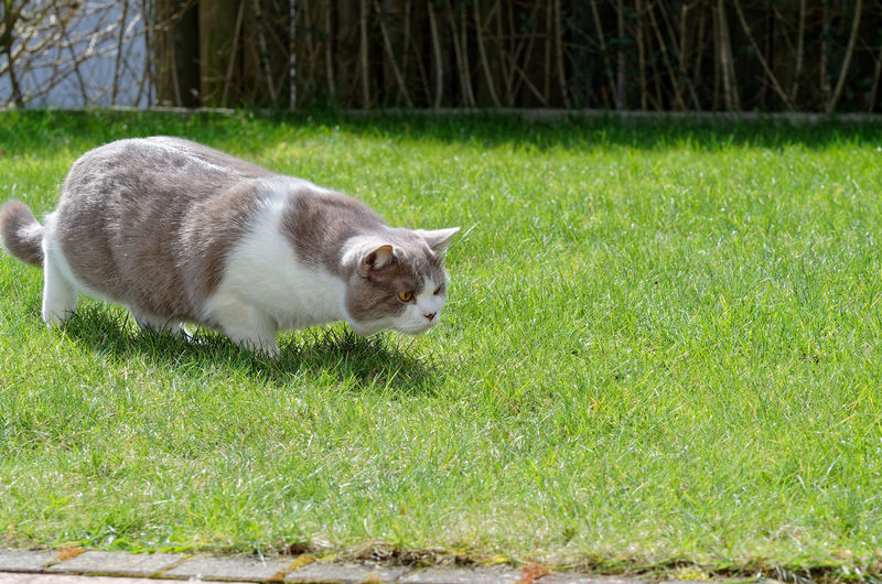 Cat is hunting on a green lawn Mammal Grass Animal Themes Animal One Animal Pets Domestic Animals Domestic Vertebrate Plant Green Color Field Land Domestic Cat Cat Nature Feline No People Day Outdoors Whisker British Shorthair Lawn Garden Hunting
