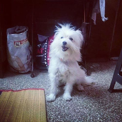 My Puppie Taking Photos!! Check This Out Cute♡ Missthis Cuteeee♥♡♥ Lhasaapso Pokémon Mypets Puppies Cute Pets Cuteness Cutenessoverload Pet Pets Lhasa Lhasa Apso Lhasa, Tibet Fluffy Puppy❤ Cute Animals Cutepets Toybreed Missmypets Missmydog Sri347krish