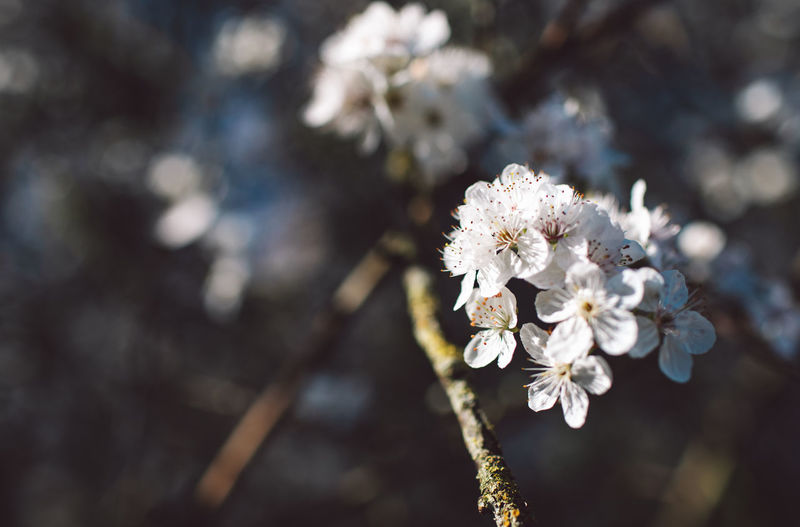 Flower Flowering Plant Plant Fragility Vulnerability  Beauty In Nature Freshness Growth Close-up White Color Nature Day No People Focus On Foreground Blossom Tree Springtime Flower Head Inflorescence Branch Outdoors Cherry Blossom Pollen Cherry Tree
