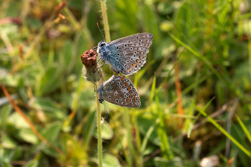 Animal Themes Animal Wildlife Animals In The Wild Beauty In Nature Butterfly Butterfly - Insect Butterfly Collection Close-up Common Blue Butterfly Day Focus On Foreground Grass Growth Insect Leaf Nature Nature_collection No People Outdoors Pairing Plant Spread Wings Wildlife