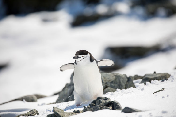 Animal Animal Themes Animal Wildlife Animals In The Wild Bird Cold Temperature Day Focus On Foreground Frozen Ice Mouth Open Nature No People One Animal Outdoors Penguin Selective Focus Snow Vertebrate White Color Winter