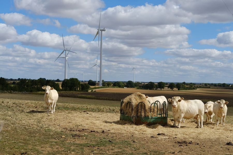 Wind Turbine Electricity Pylon Wind Power Rural Scene Electricity  Technology Fuel And Power Generation Grazing Group Of Animals Sky