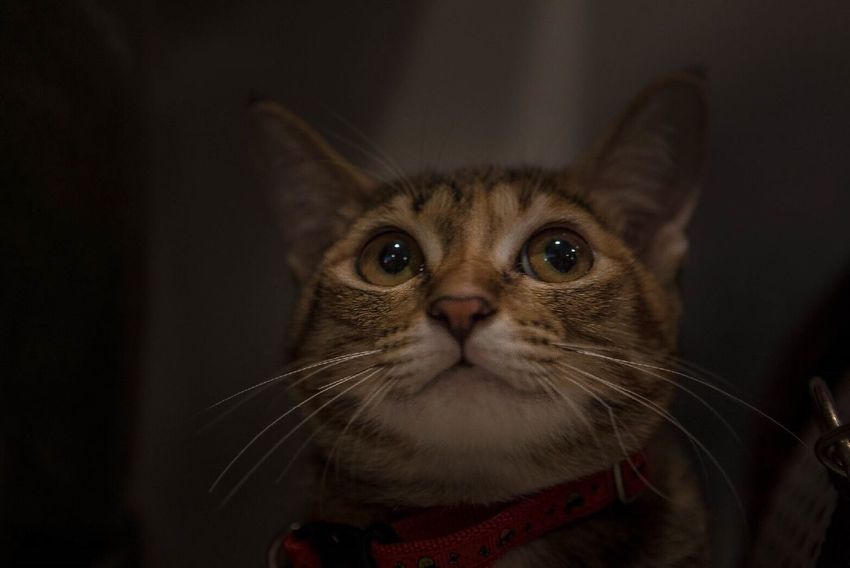 One Animal Portrait Close-up Pets Cats Cat Cat Lovers Eye Animal Head  Cute Cat Smiling Pet Portraits