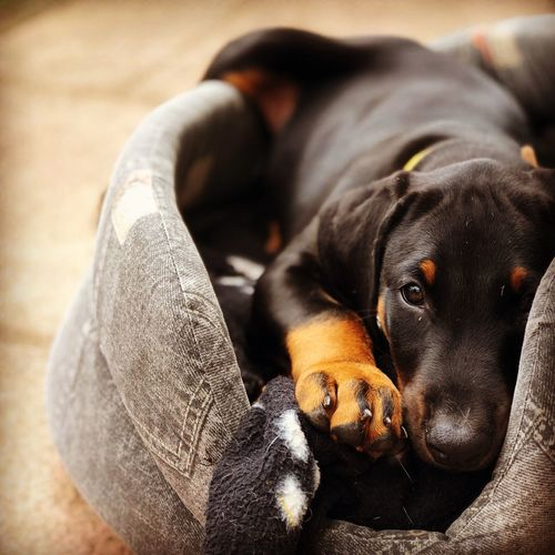 Doberman  Dog Bed Dogbed Puppy Dog Canine Dog One Animal Animal Themes Animal Pets Mammal Domestic Animals Domestic Relaxation Lying Down Close-up Focus On Foreground Looking At Camera Resting Portrait Furniture