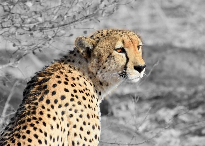 Fastest animal on land. Cheetah Animals In The Wild Focus On Foreground Colorpop Endangered Species Zoology Sabi Sands South Africa Getty Images Nationalgeographic
