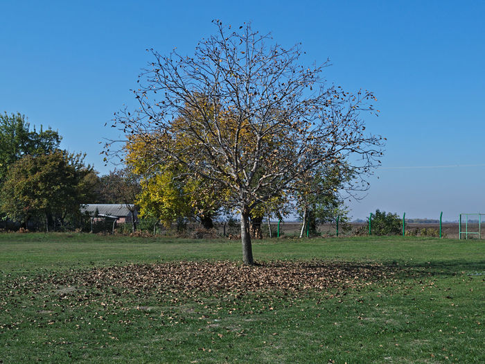 Walnut tree at field, with fallen leaves around it, autumn time Autumn Agriculture Beauty In Nature Clear Sky Day Fall Field Grass Landscape Nature No People Outdoors Sky Tranquility Tree Walnut