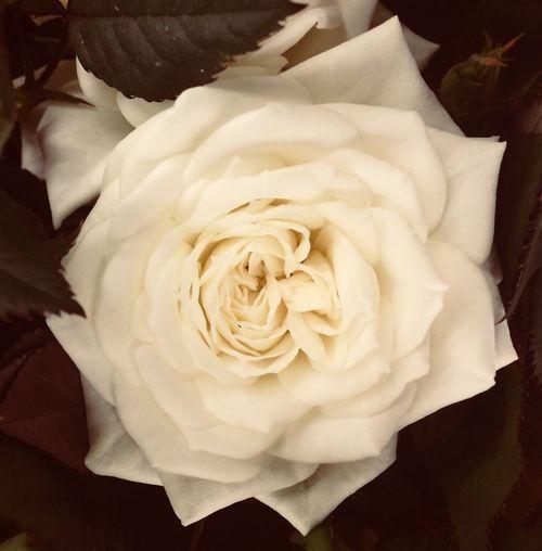 роза Flower