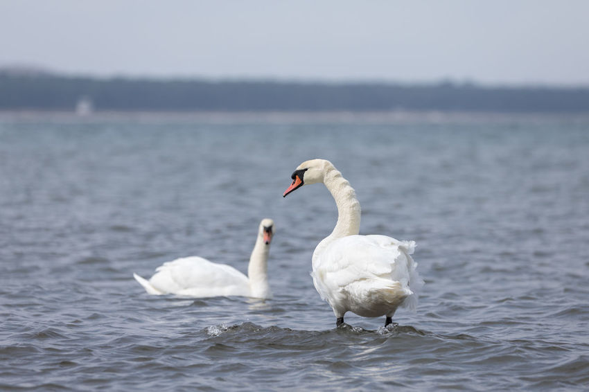 Pair of mute swans swimming / standing in the Baltic Sea Baltic Sea Mute Swan Rear View Standing Swimming Animal Themes Animal Wildlife Animals In The Wild Beauty In Nature Bird Couple - Relationship Focus On Foreground Love - Emotion Nature Outdoors Rippled Sea Side View Simplicity Swan Two Animals Water Water Bird Waterfront White Color