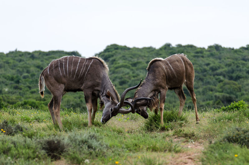 Antelopes fighting while standing on field against sky