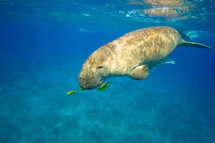 Beatiful Diving Snorkeling Travel Wildlife & Nature Animal Animal Themes Animal Wildlife Animals In The Wild Beauty In Nature Blue Dugong Marine Nature One Animal Photography Sea Sea Life Swimming UnderSea Underwater Water Wildlife Ägypten  Ägypten Red Sea