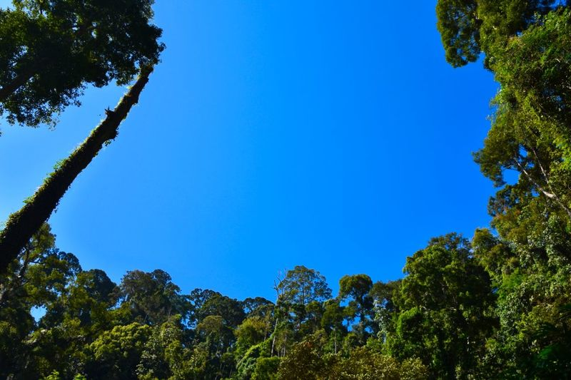 Blue Sky of Danum Valley DanumValley Danum Danum Valley Danum Valley, Borneo, Sabah, Rainforest Nature, Nature Nature_collection Nature Photography Naturelovers Blue Sky Beauty In Nature Bluesky Nature_perfection Rainforest Borneo Sabah Borneo Sabah Sabah Malaysia Wildlife Photography Wildlife & Nature Wilderness Wildlifephotography Photography Photooftheday