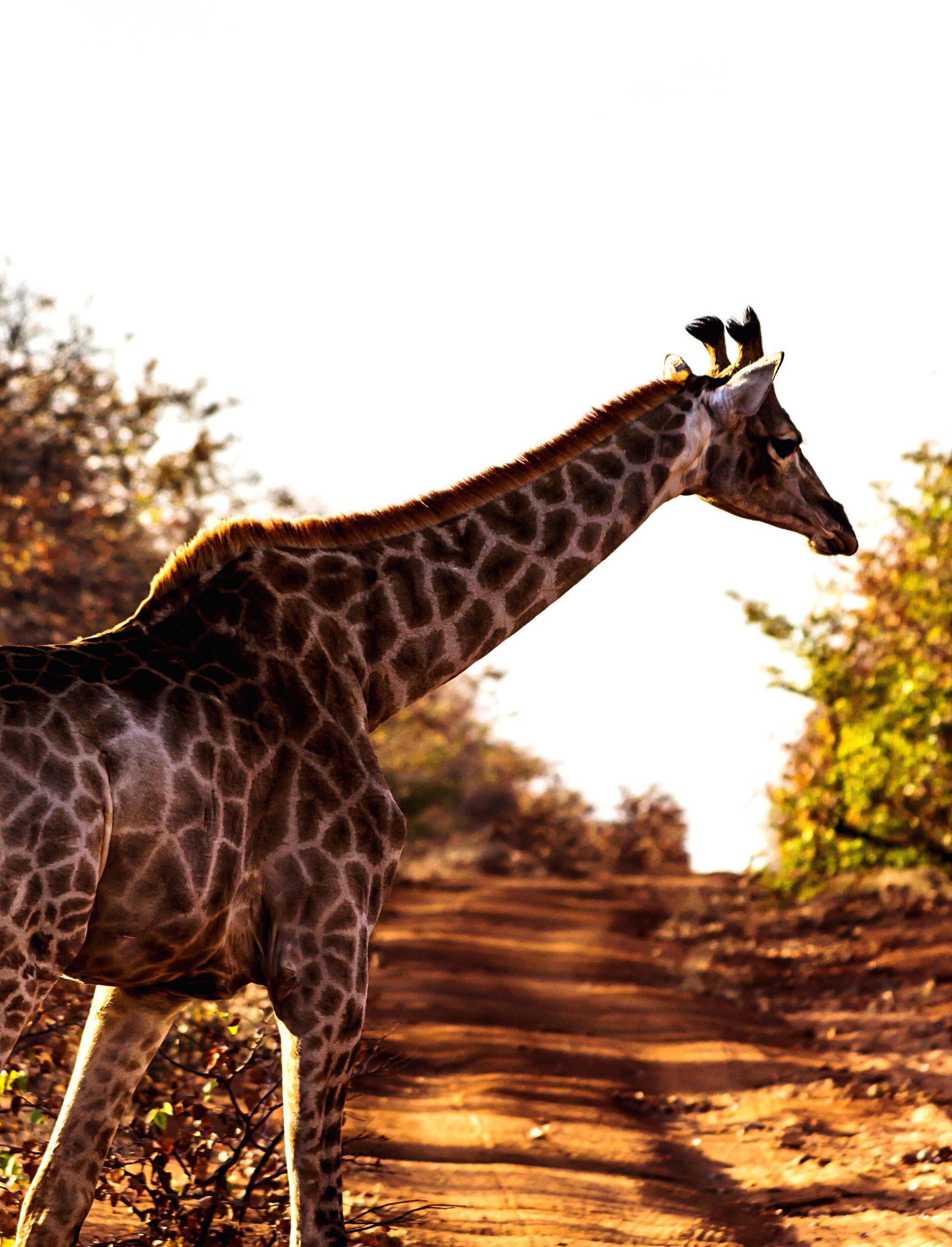 giraffe, animal themes, animals in the wild, one animal, safari animals, animal wildlife, herbivorous, nature, standing, outdoors, mammal, no people, animal markings, day, sky, clear sky, animal neck, tree, grass, animal behavior, hoofed mammal, zebra, nature reserve