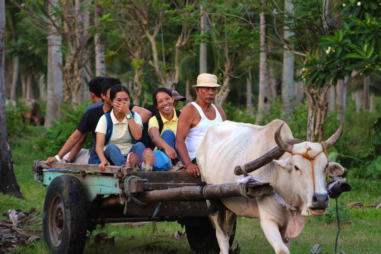 Transportation using cow in farm field Coconut Farmer Transportation Adult Casual Clothing Day Domestic Animals Farm Transportation Farmer Group Of People Hat Land Livestock Mammal Mature Men Men Nature Old Farmer Outdoors People Plant Real People Sitting Smiling Transportation Tree