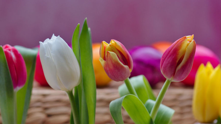 Flower Flowering Plant Freshness Plant Beauty In Nature Tulip Petal Close-up Nature Inflorescence Pink Color Vulnerability  Flower Head Fragility No People Focus On Foreground Green Color Springtime Growth Leaf Outdoors Purple Softness Easter Eggs